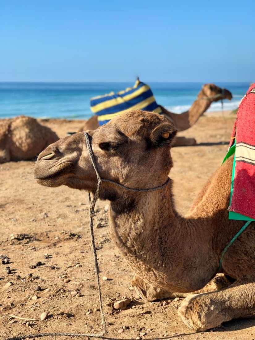close up of a camel resting near shoreline