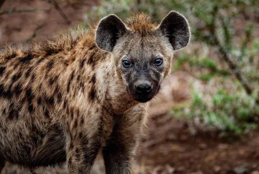 close up photography of hyena