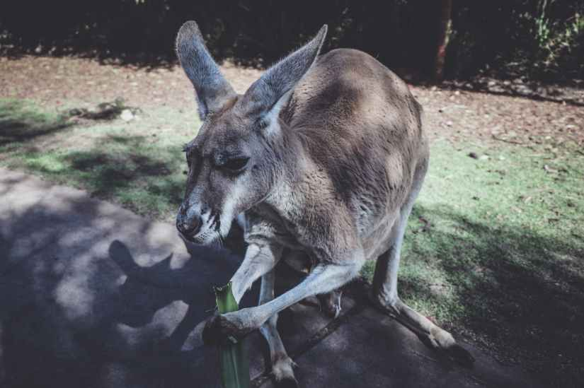 brown kangaroo holding green leaf