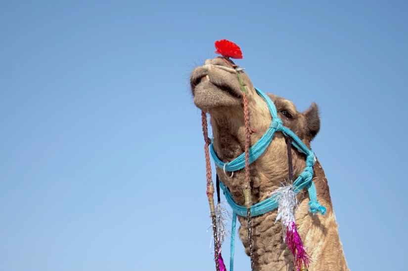 accessories animal arabian camel blue sky