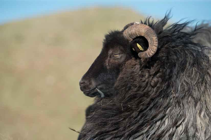 animal animal photography black sheep blur