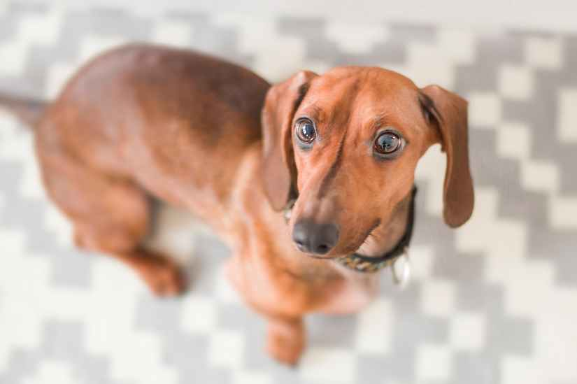 close up photography of dachshund