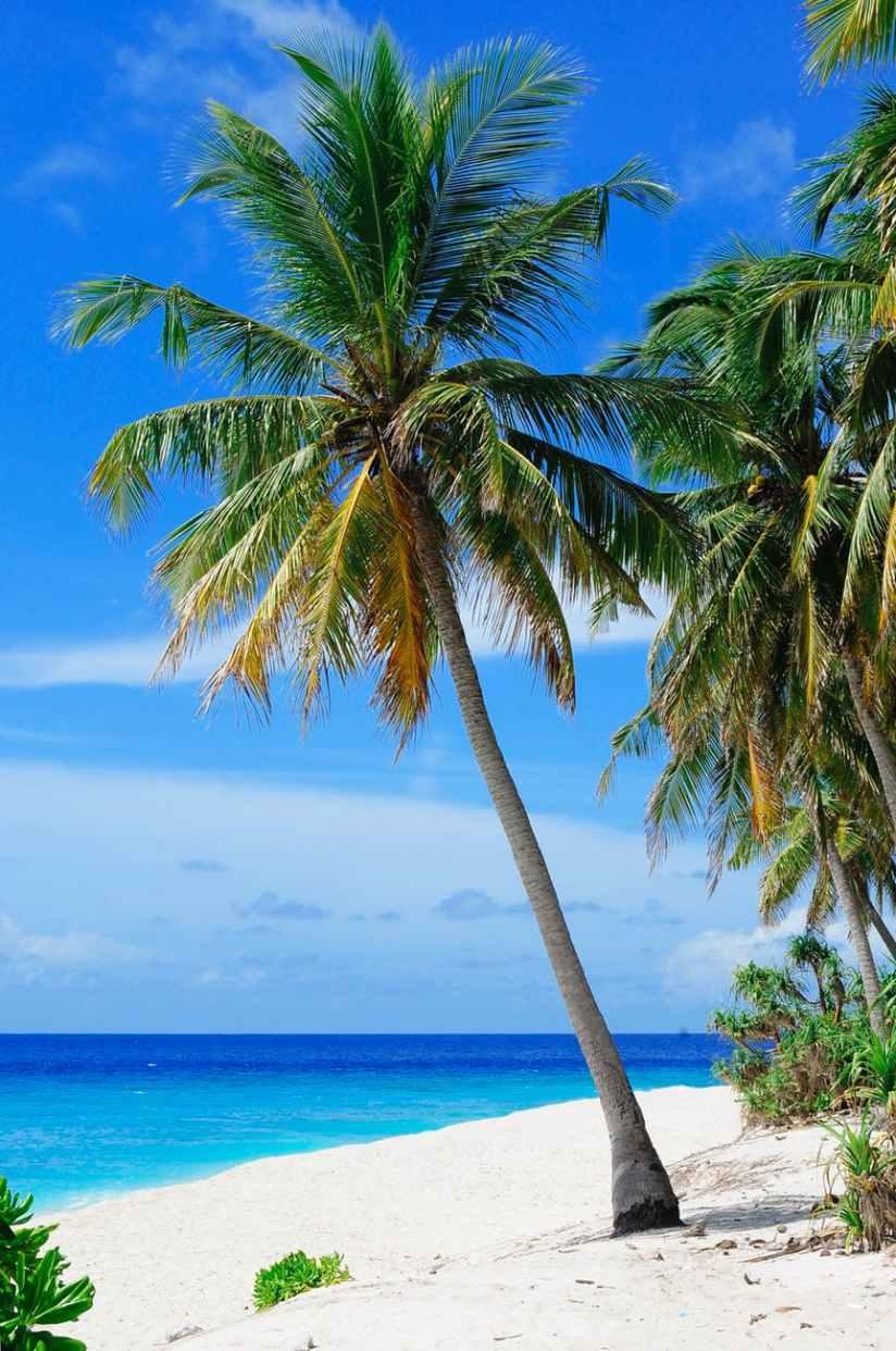 beach coconut trees coconuts daylight